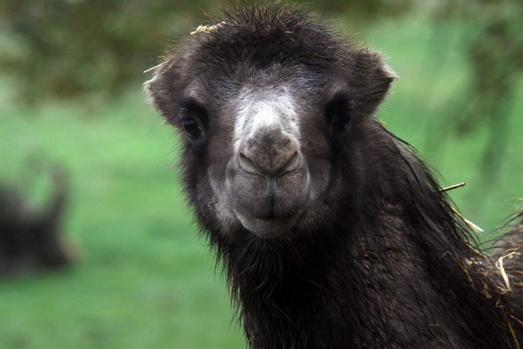 Kamel im Zoo Arche Noah