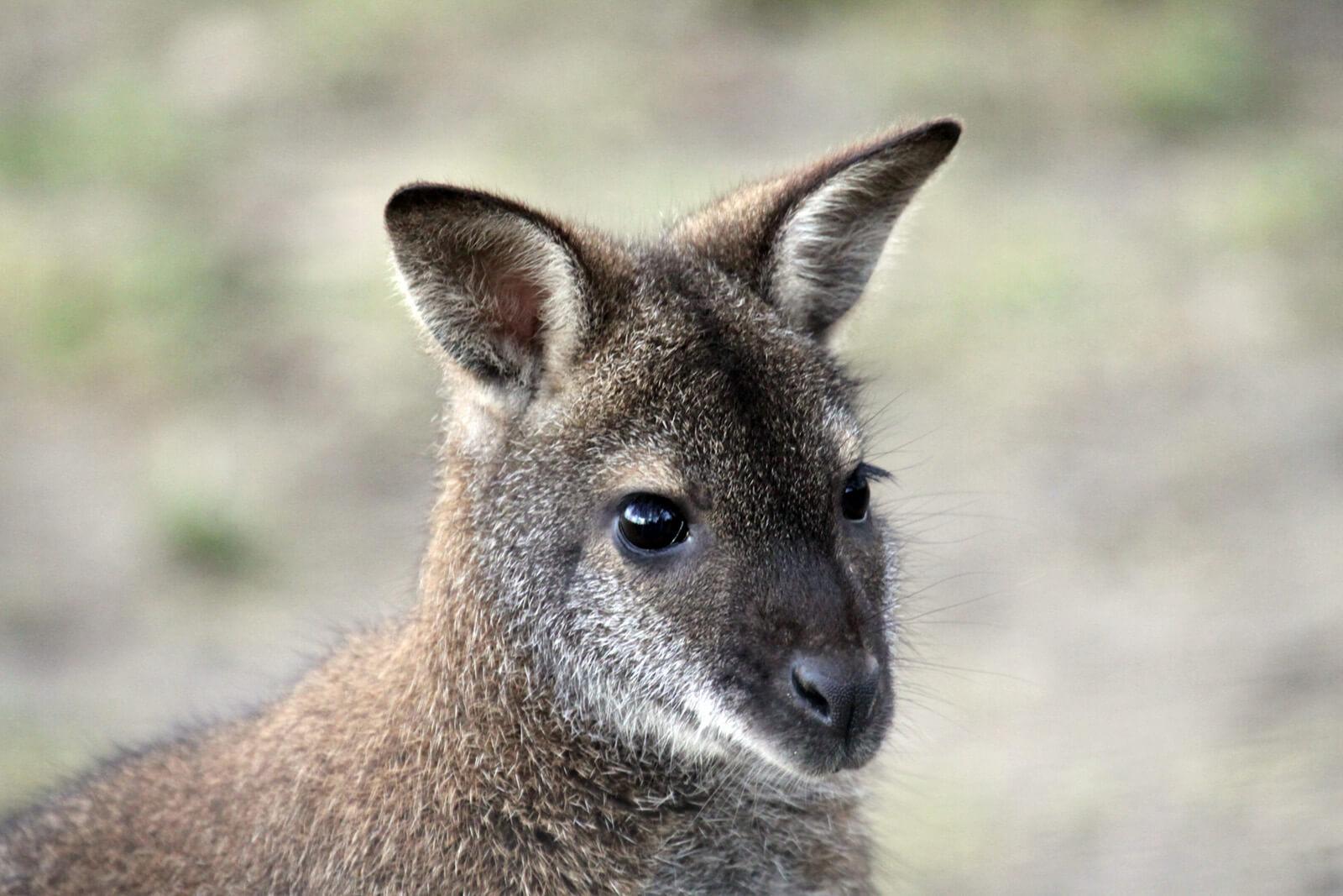 Känguru im Zoo Arche Noah