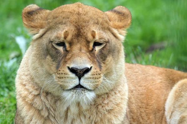 Löwin auf der Wiese im Zoo Arche Noah
