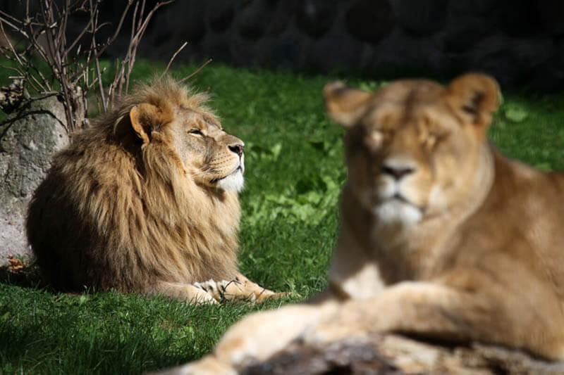 Löwenmännchen und Weibchen sonnen sich auf der Wiese im Zoo Arche Noah