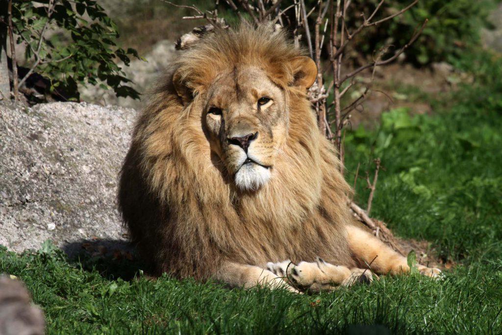 Löwe sonnt sich auf der Wiese im Zoo Arche Noah