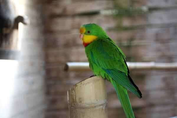 Halsbandsittich im Zoo Arche Noah
