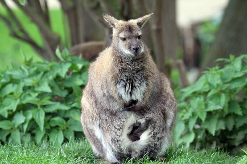 Känguru im Zoo Arche Noah entspannt im lichten Schatten unter einem Baum