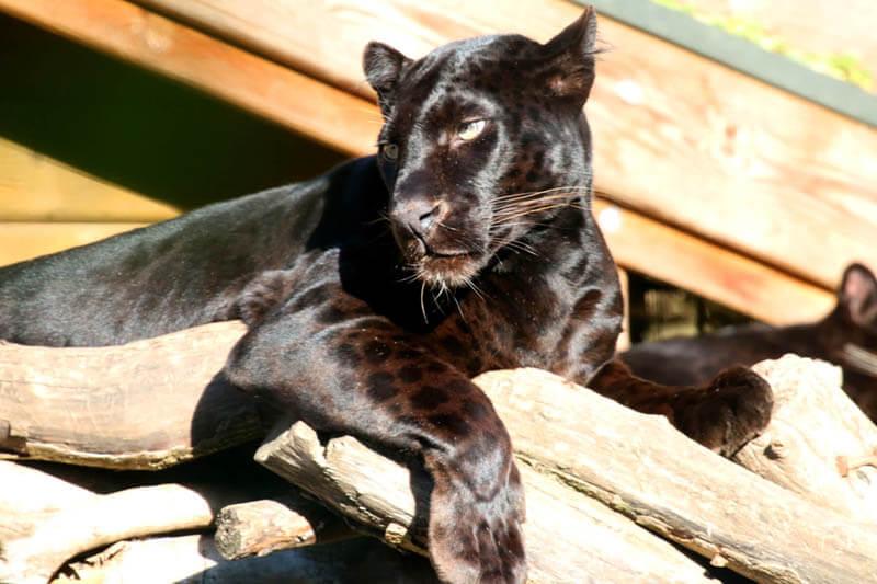 Panther bzw. schwarzer Leopard im Zoo Arche Noah