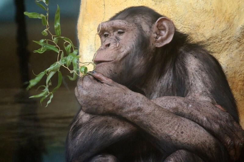 Menschenaffe im Zoo Arche Noah