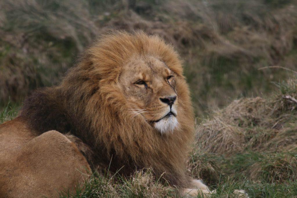 Löwe im Zoo Arche Noah
