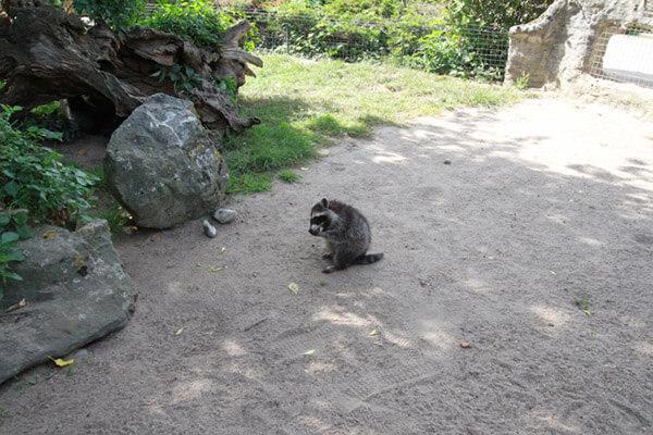Waschbär im Außengehege im Zoo Arche Noah