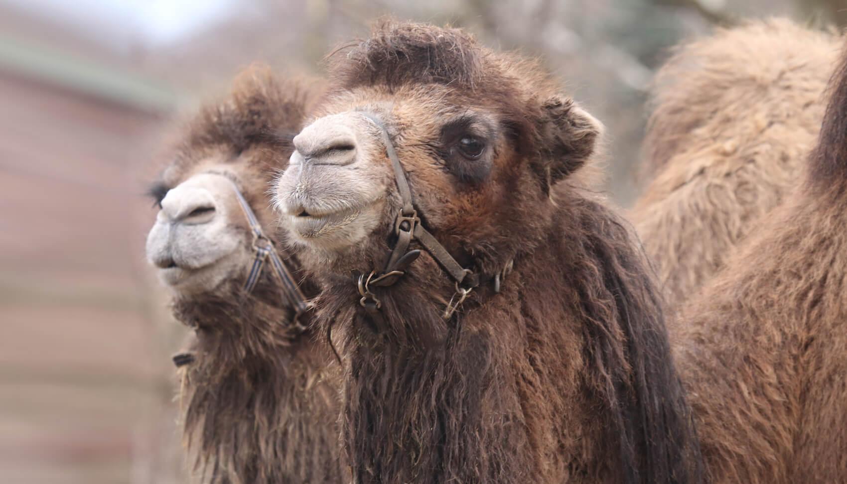 Zwei Dromedare im Zoo Arche Noah
