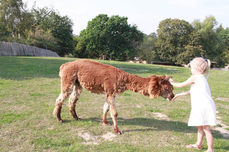 Kleinkind füttert ein Lama im Zoo Arche Noah