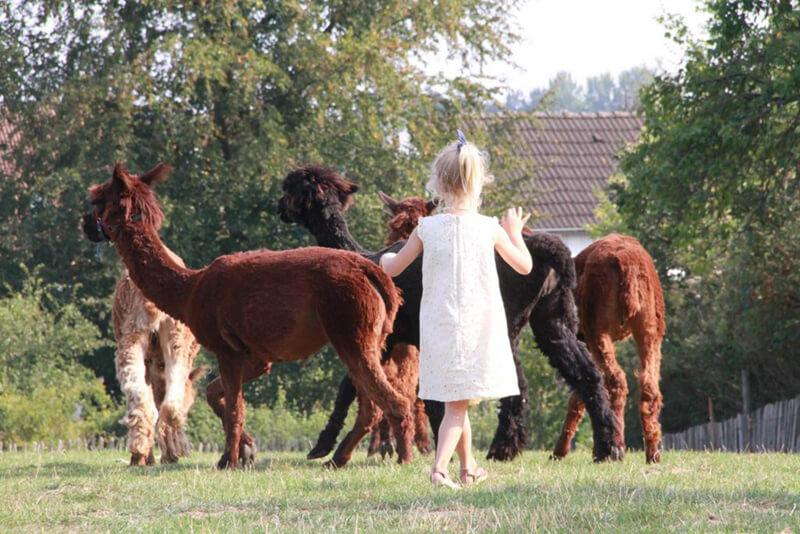 Kleinkind im Streichelzoo bei den Lamas