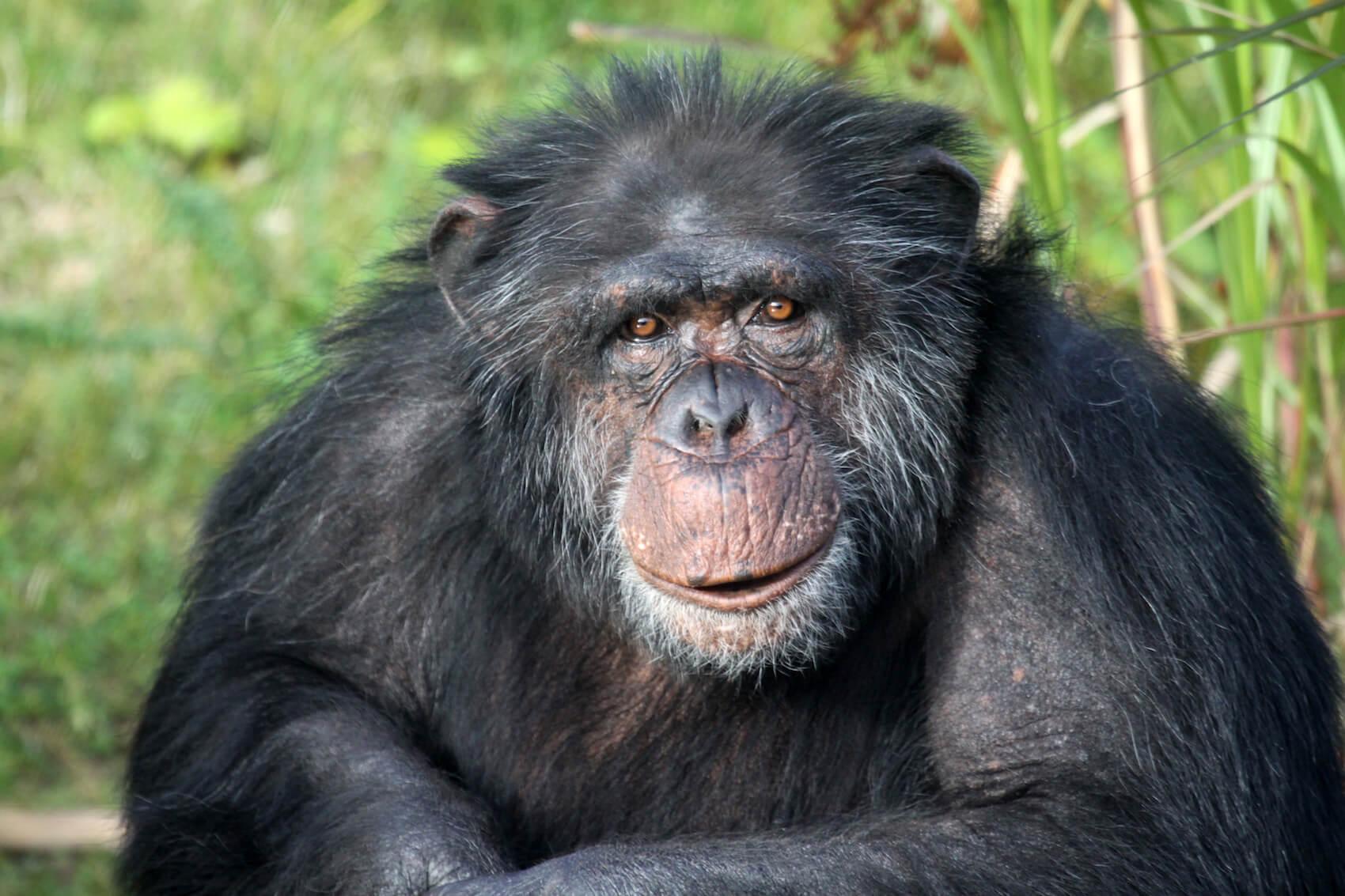 Affe aus dem Zoo Arche Noah