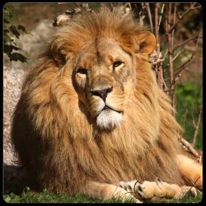 "Patenschaft Löwe ""Aslan"""