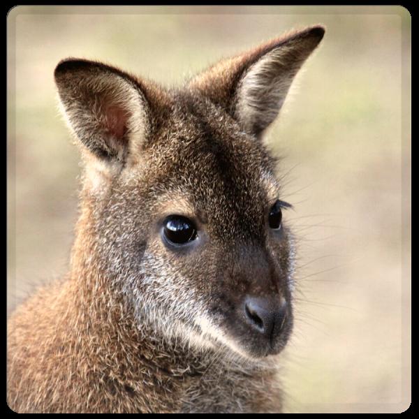 Patenschaft Kaenguru