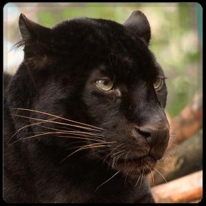 Patenschaft Schwarzer Leopard