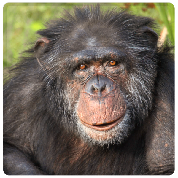 Patenschaft Schimpanse Michi