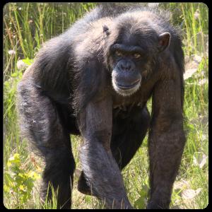 """Patenschaft Schimpanse """"Judy"""""""