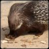 Patenschaft Stachelschwein