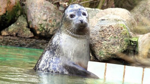 Kleine Robbe im Wasser im Zoo Arche Noah